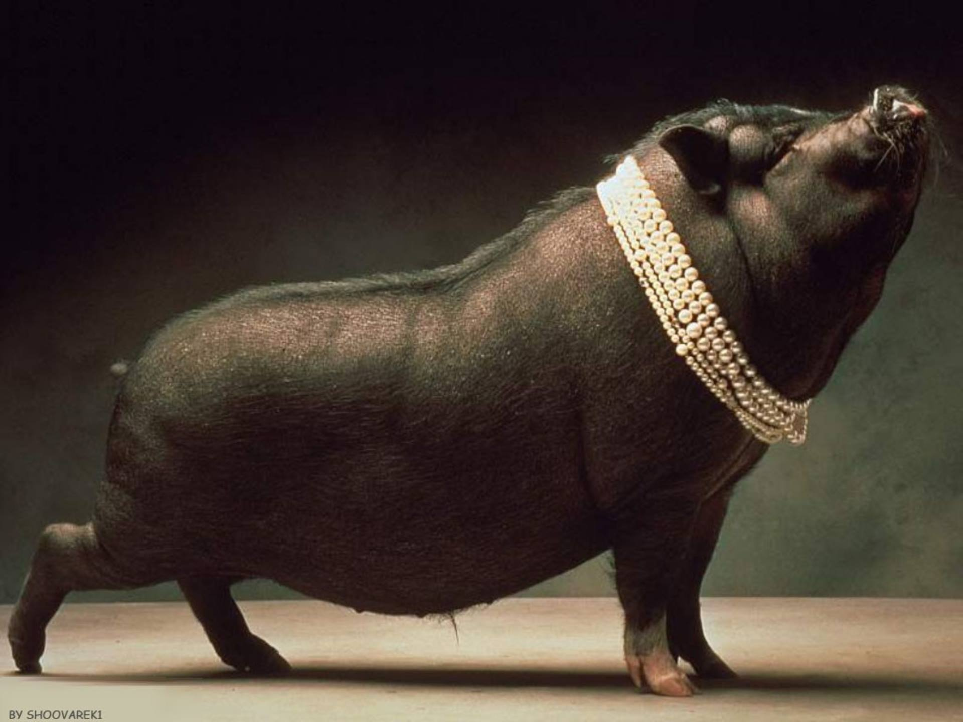 Метать бисер перед свиньями