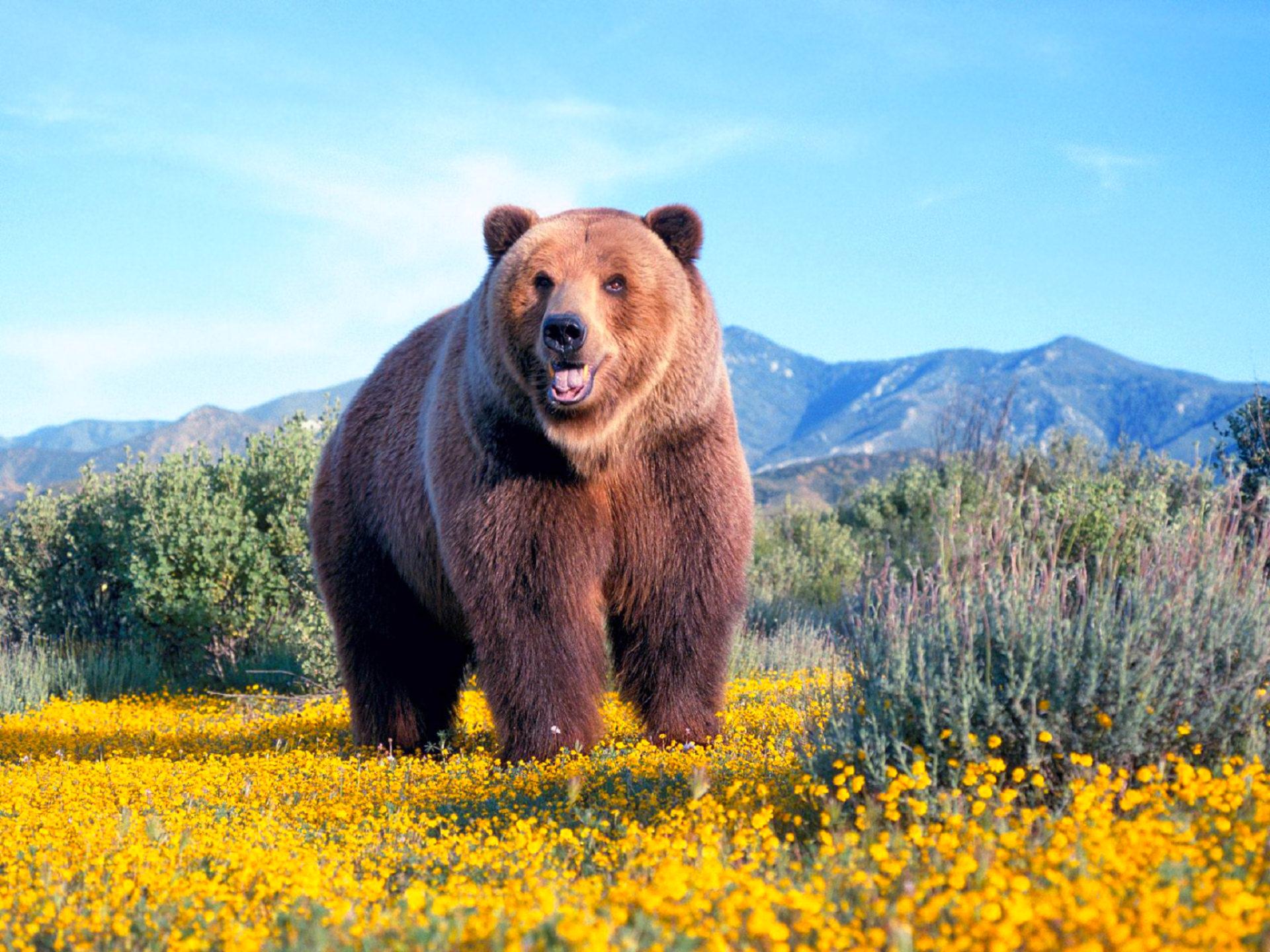 Медвежья услуга - фразеологизм
