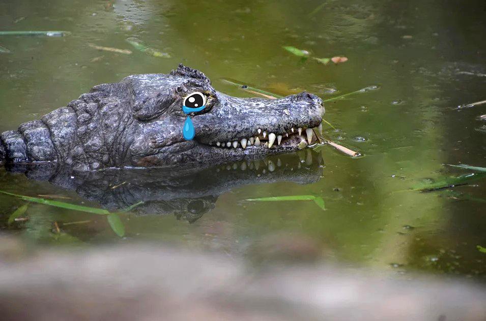 Смысл и происхождение фразеологизма «Крокодиловы слёзы»
